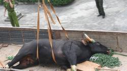 Công khai ảnh tiêu hủy bò tót, chứng minh tính trung thực