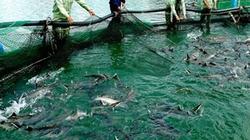 Bấp bênh nghề nuôi cá nước lạnh