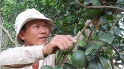 ĐBSCL: Nhiều nông dân bỏ lúa, trồng cam sành