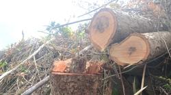 Hàng chục ha rừng phòng hộ bị chặt trơ gốc