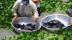 Quảng Bình:  Nông dân  thoải mái  nuôi ba ba