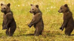 Ngộ nghĩnh gấu xếp hàng, đứng hai chân như người