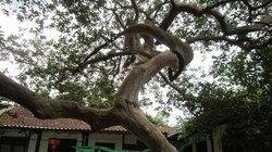 Chiêm ngưỡng cây ổi thế lạ, 150 triệu không mua nổi