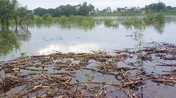 Bố bơi qua sông hái ổi, 2 con chết đuối thương tâm