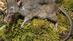 Phát hiện loài chuột chỉ có hai chiếc răng... thỏ