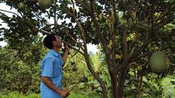 Bảo vệ vườn cây ăn trái mùa mưa lũ