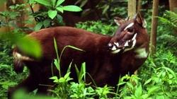 Sao La còn tồn tại ở vườn quốc gia Vũ Quang?