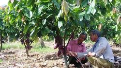 Mô hình sản xuất mới ở Lâm Đồng: Tưới nhỏ giọt cho ca cao