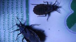 Tìm thấy ổ bọ xít hút máu người tại Bình Định