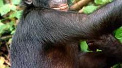 Phát hiện linh trưởng quý hiếm tại Vườn Quốc gia Xuân Sơn