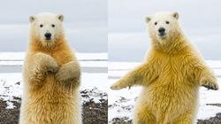 """Ảnh đẹp động vật: Gấu """"nhảy lambada"""" cực điêu luyện"""
