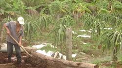 Tiền Giang: Mầm dịch bệnh ở vùng trồng thanh long