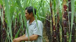 Thanh Hóa: Lãi lớn từ trồng mía tím
