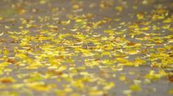 Lãng đãng mùa lá rụng trên phố Hà Nội thu