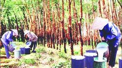 Cao su rớt giá, người dân chặt bỏ cây