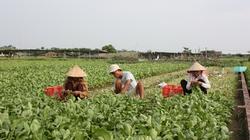 Hà Nội: Mở rộng diện tích trồng rau an toàn trên 8.100ha