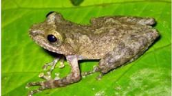 Phát hiện loài ếch cây độc đáo ở Cao Bằng