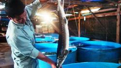 Kiến nghị quyết liệt ngăn chặn nhập lậu cá tầm