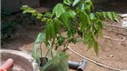 1.001 cách làm ăn: Trồng cây sưa