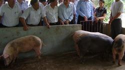 Sớm nhân rộng mô hình nuôi lợn... không tắm