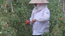 Lâm Đồng: Xuất hiện dịch hại mới ở cây cà chua