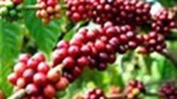 Gia hạn cho vay tín dụng xuất khẩu đối với cà phê