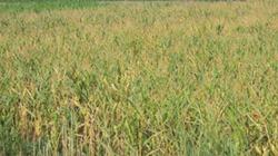 Người trồng ngô gánh nợ
