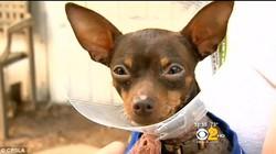 Cuộc phẫu thuật kỳ diệu cho chú chó nuốt… 9 chiếc kim khâu