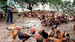 Con Heo Vàng giúp nuôi gà thả vườn hiệu quả