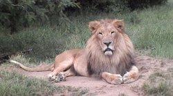 Người đẹp Canada suýt mất mạng vì… hôn sư tử