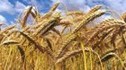 Sản lượng ngũ cốc thế giới tăng kỷ lục