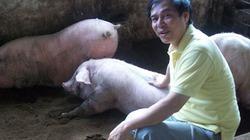 Nuôi lợn sử dụng đệm lót sinh học: Còn thiếu quy trình  chuẩn