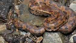 Tránh bị tù, rắn độc tự cắn vào thân để tự tử