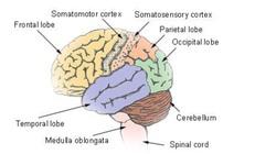 Bộ não và những điều kỳ diệu