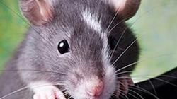 """Lần đầu cấy thành công """"ký ức giả"""" vào não chuột"""