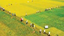 Bạc Liêu: Triển khai 11 mô hình  cánh đồng mẫu lớn