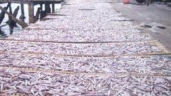 Quy Nhơn:  Ngư dân trúng đậm cá cơm than