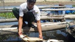 Cá lồng chết hàng loạt ở Thanh Hóa: UBND tỉnh chỉ đạo làm rõ nguyên nhân