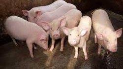 Đăk Lăk: Khống chế thành công dịch lợn tai xanh