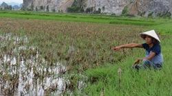 Hải Phòng: Bỏ hoang hơn 250ha ruộng