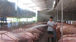 Nghề nuôi lợn thịt lai F1 sạch