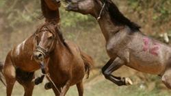 Hà Giang: Kịch tính hội chọi ngựa có một không hai