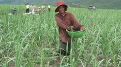 Nông dân lãi cao  nhờ các giống mía mới
