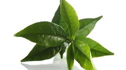 Bật mí: Da mịn, dáng đẹp nhờ trà xanh