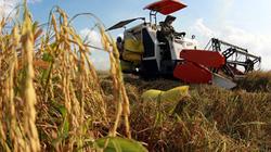 Thiếu thương hiệu gạo VN xuất khẩu: Không do thiếu lúa giống chất lượng