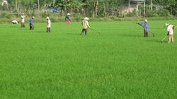 Sống khỏe nhờ trồng lúa, nuôi gà