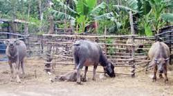 Thừa Thiên-Huế: 25 con trâu của dân bị trộm