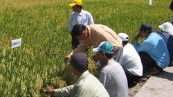 Dinh dưỡng phù hợp cho lúa thơm