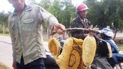 Phú Yên: Được mùa mật ong ruồi