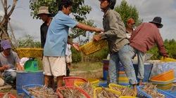 Giá tôm trồi sụt,  nông dân bất an